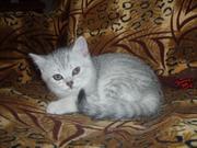 Продается котёнок скоттиш-страйт