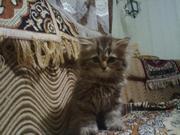 Продаю британских длинношерстных котят